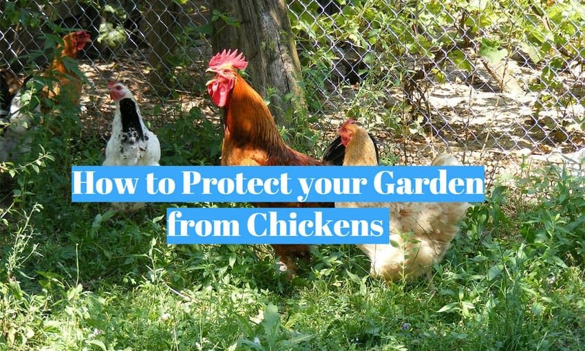 Protect your Garden from Chickens